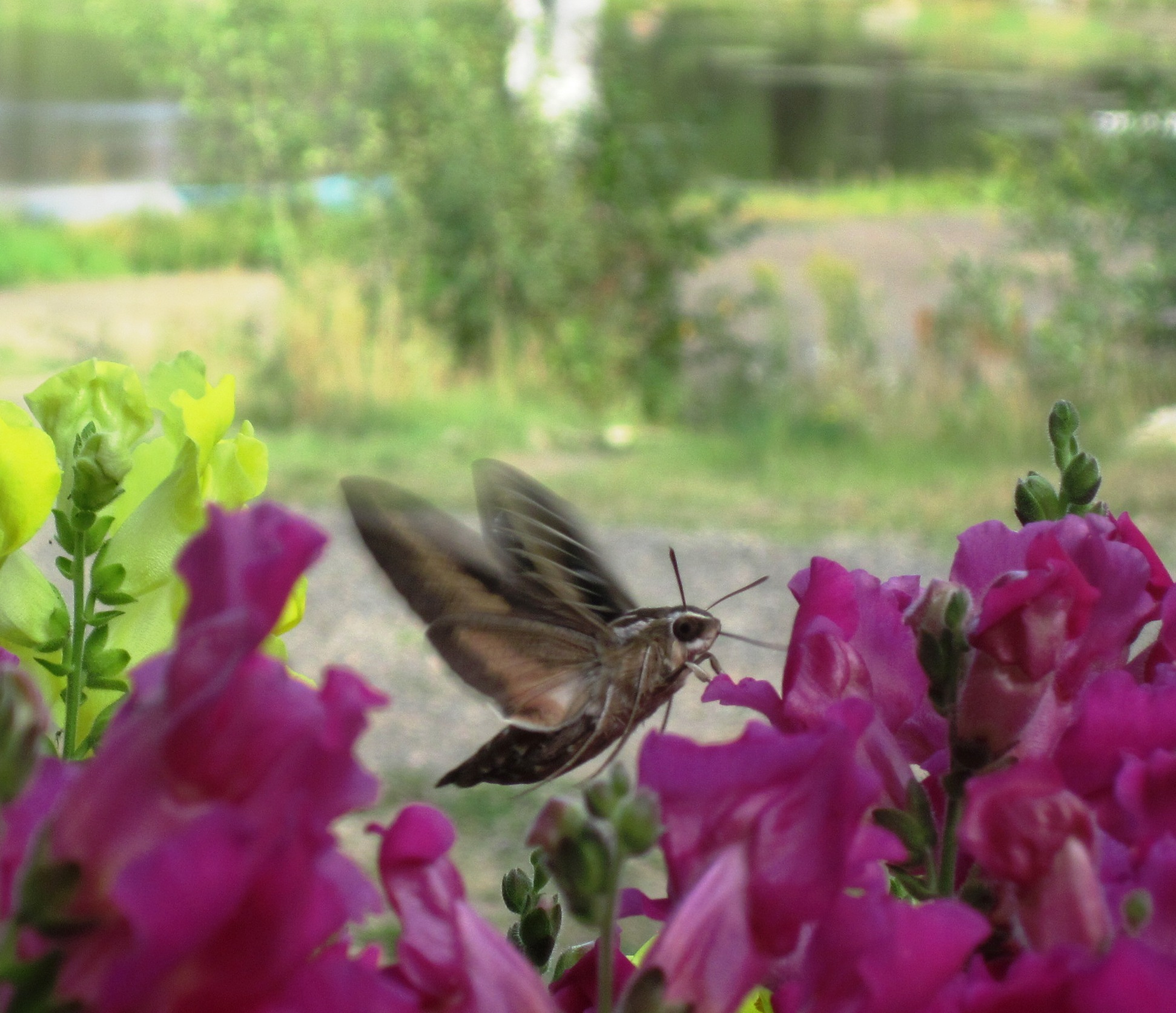 White lined sphinx moths fluttering by last sunday mightylinksfo