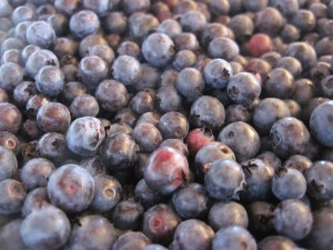 Wild blueberries[1]_0