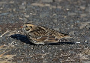 LaplundLongspur