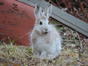 snowshoe hare 015