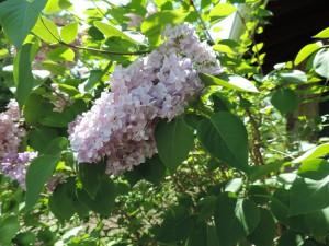 Flowers of Chik-Wauk 011
